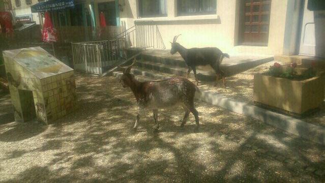 chèvres lamastroises